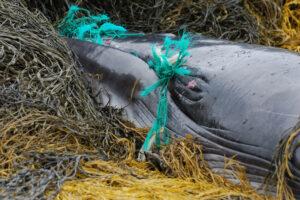В Италии водолазы час выпутывали кита из снастей