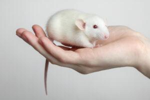Японцы доказали, что крысам нравятся поглаживания