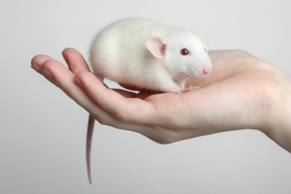 Японцы доказали, что крысам нравятся поглаживания.Вокруг Света. Украина