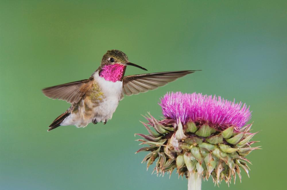 Колибри могут видеть цвета, недоступные человеческому глазу