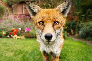 У лондонских лисиц обнаружили признаки одомашнивания