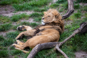 В Индии увеличилась популяция азиатских львов