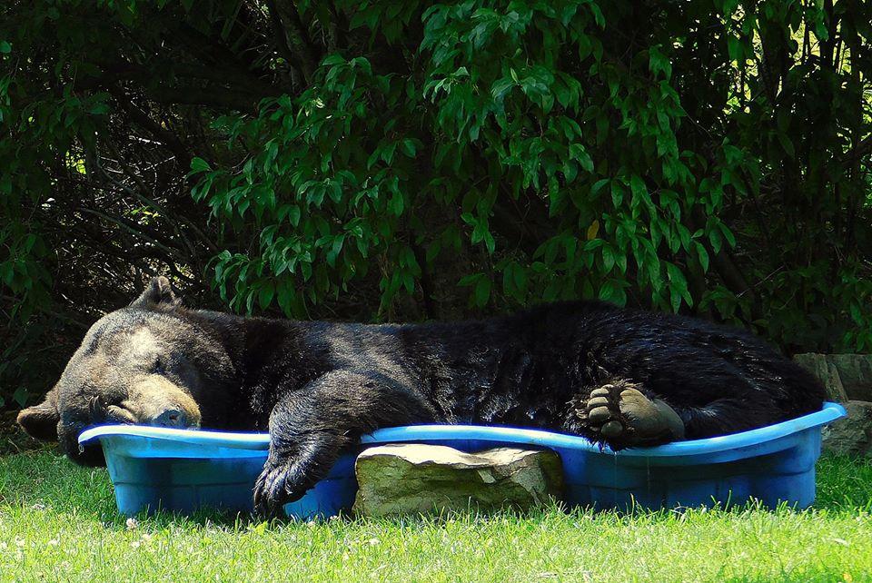 Американка обрадовалась медведю, уснувшему в ее бассейне