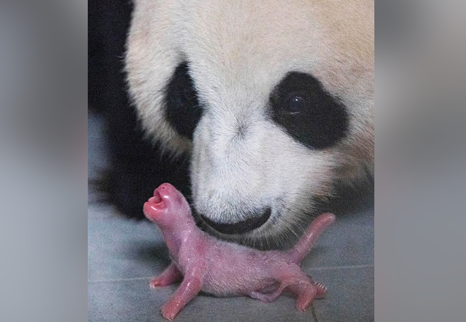 В южнокорейском парке развлечений панда родила детеныша