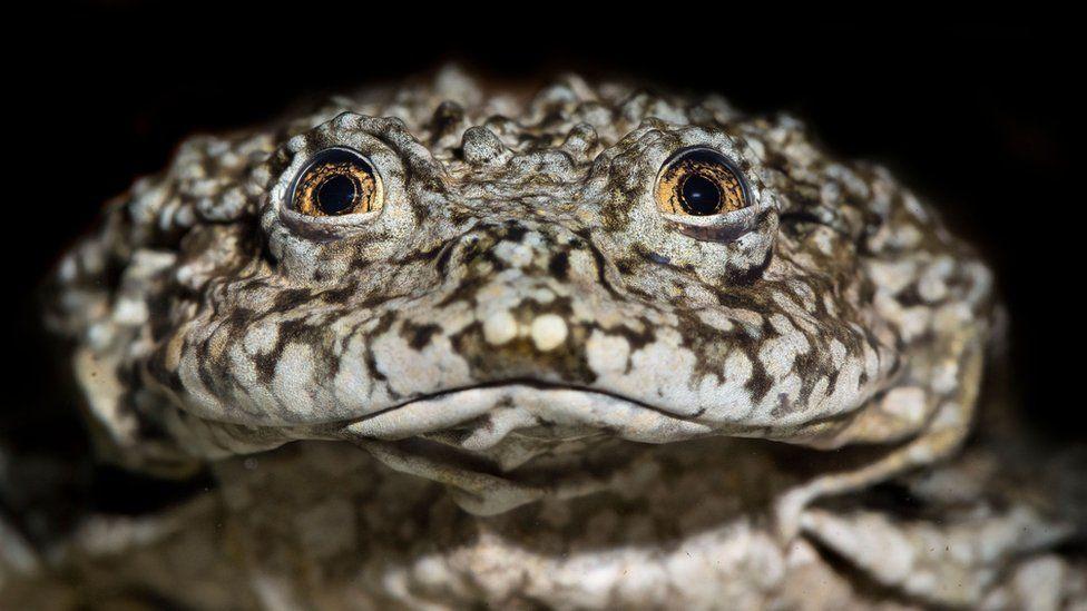 Зоологи объединились, чтобы спасти лягушку озера Титикака
