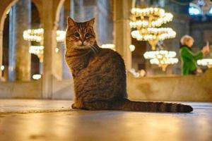 Кошка Гли останется жить в мечети Айя-София в Стамбуле