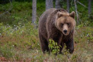 Самый разыскиваемый в Италии медведь снова сбежал