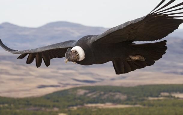 Кондор 160 км летел без крыльев.Вокруг Света. Украина