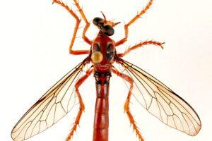 Локи, Тор и Дэдпул: новые виды мух назвали в честь героев Marvel