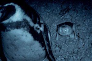 Пингвины спасают детенышей от летучих мышей: видео