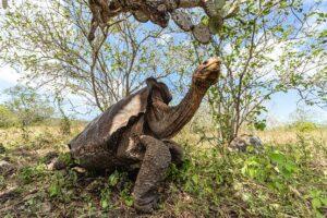 Проработав 60 лет ради спасения вида, 15 слоновых черепах вернулись домой