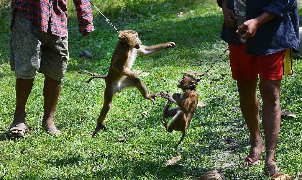 В Британии разгорелся скандал из-за рабского труда обезьян.Вокруг Света. Украина
