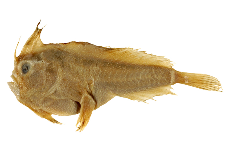 рукастая рыба хендфиш