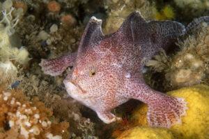 В Австралии вымер вид «рукастых рыб» - впервые в современную эпоху