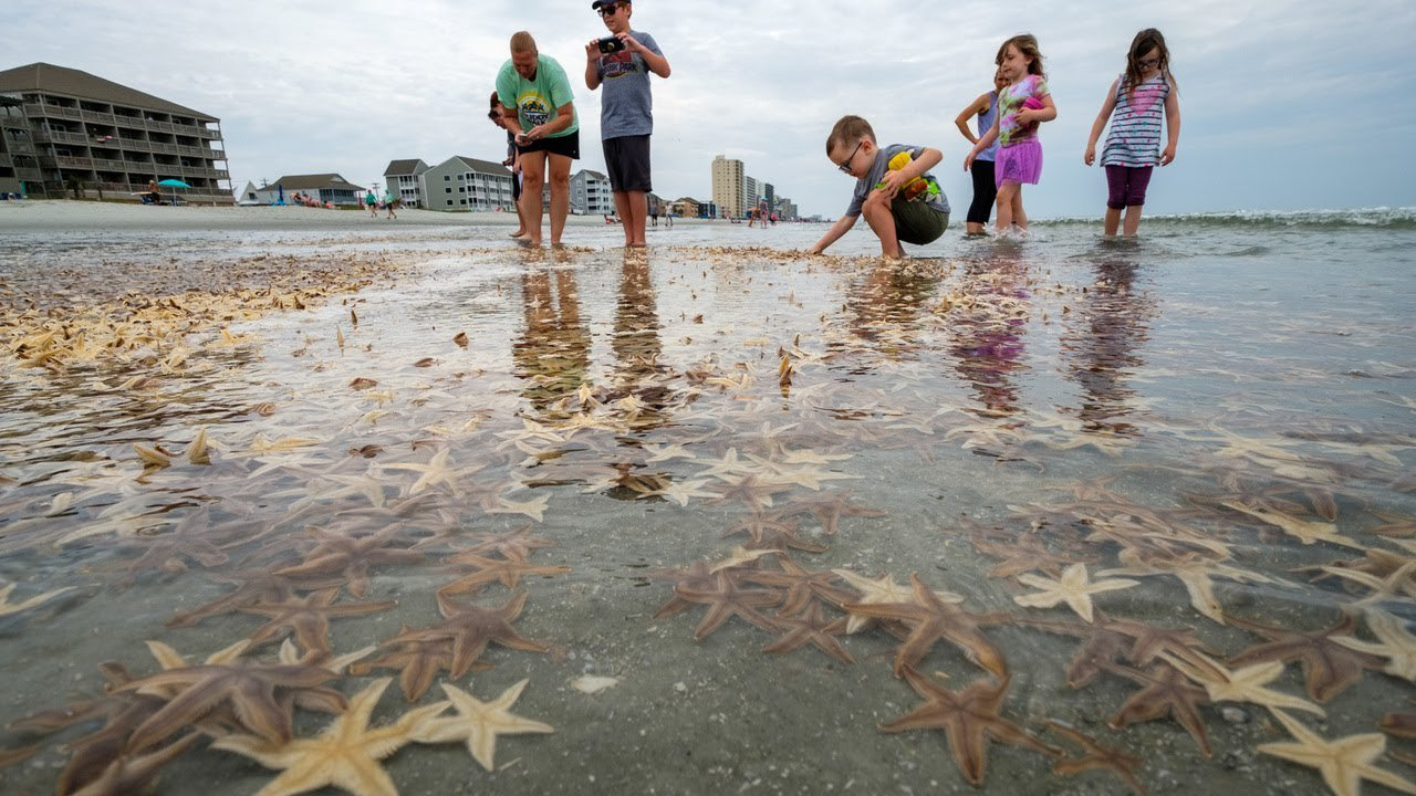 К американскому курорту прибило тысячи морских звезд.Вокруг Света. Украина