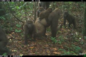 Редчайшая горилла попала на фото вместе с потомством