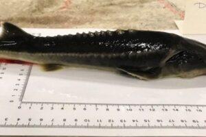 Ученые случайно вывели причудливый гибрид двух вымирающих рыб