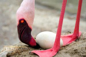В британском зоопарке фламинго подкладывают фальшивые яйца