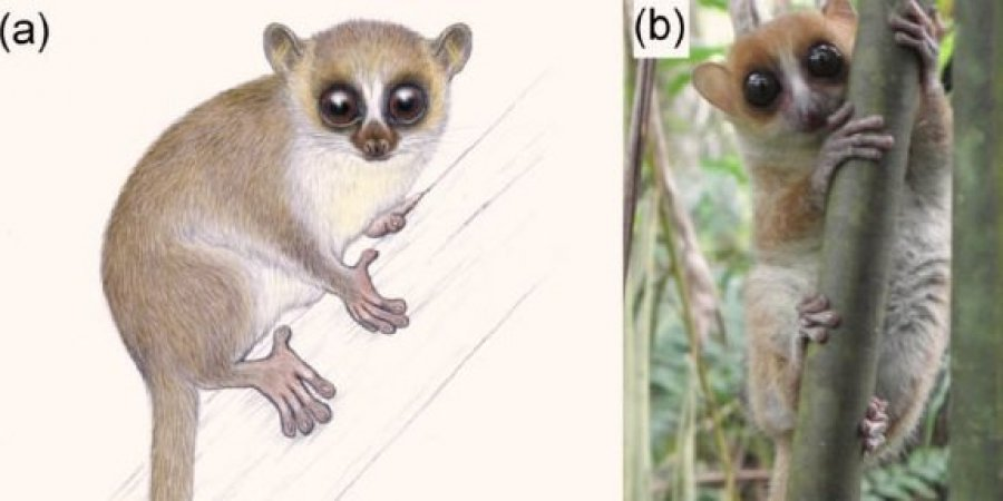 На Мадагаскаре обнаружили новый вид крошечных лемуров.Вокруг Света. Украина