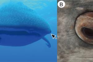 У китовых акул глаза покрыты зубчиками