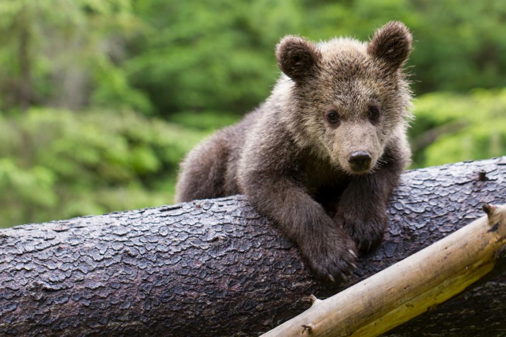 В США спасли медвежонка, застрявшего в банке