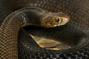 В Австралии водитель пикапа одолел опаснейшую змею
