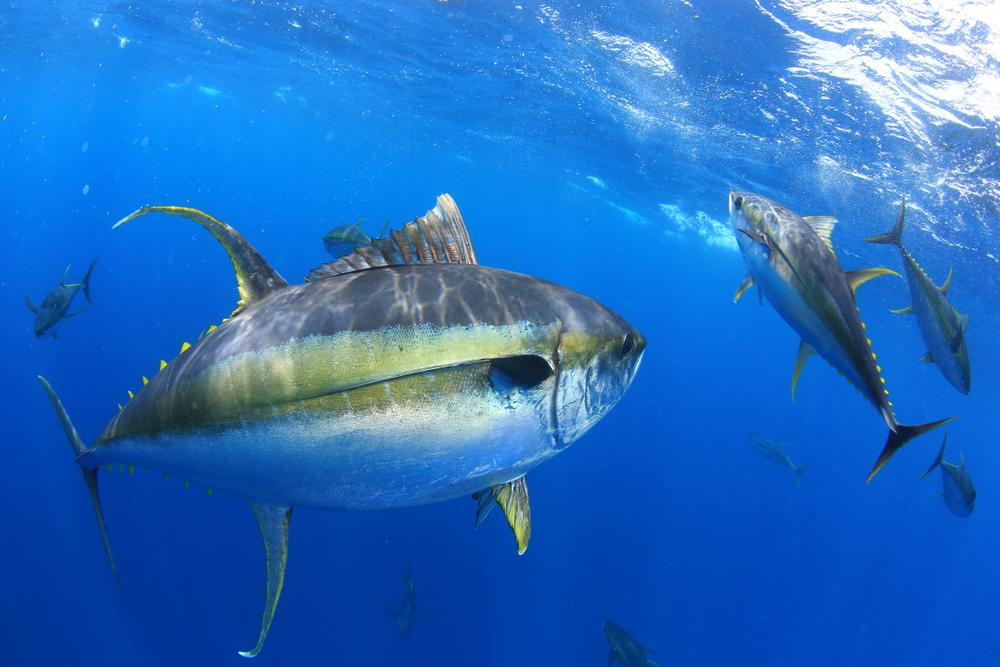 Радиоактивная рыба: есть ли опасность для здоровья?.Вокруг Света. Украина