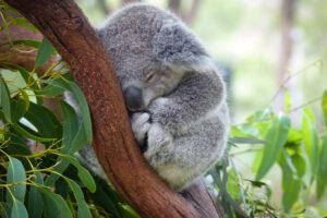 Крупнейшая популяция коал Австралии может исчезнуть к 2050 году
