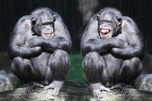 Седина у шимпанзе оказалась не связана со старением