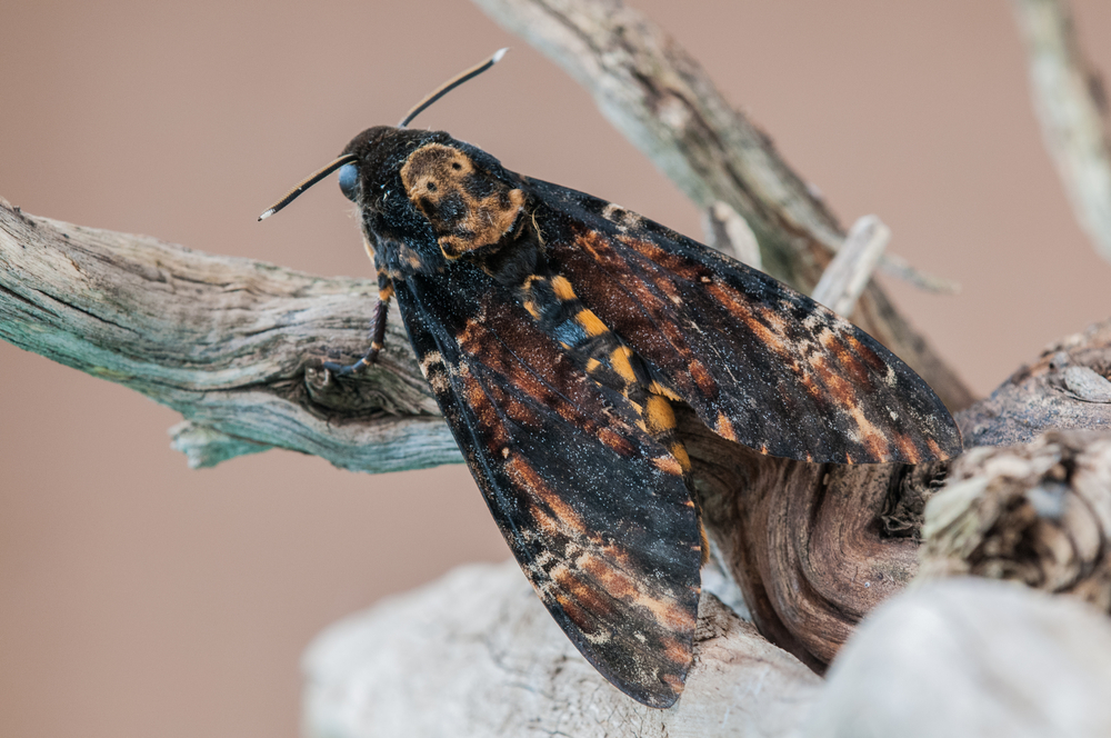 «Мертвая голова»: под Мелитополем нашли гусеницу редкой бабочки.Вокруг Света. Украина