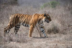 Противостояние тигра и питона попало на видео