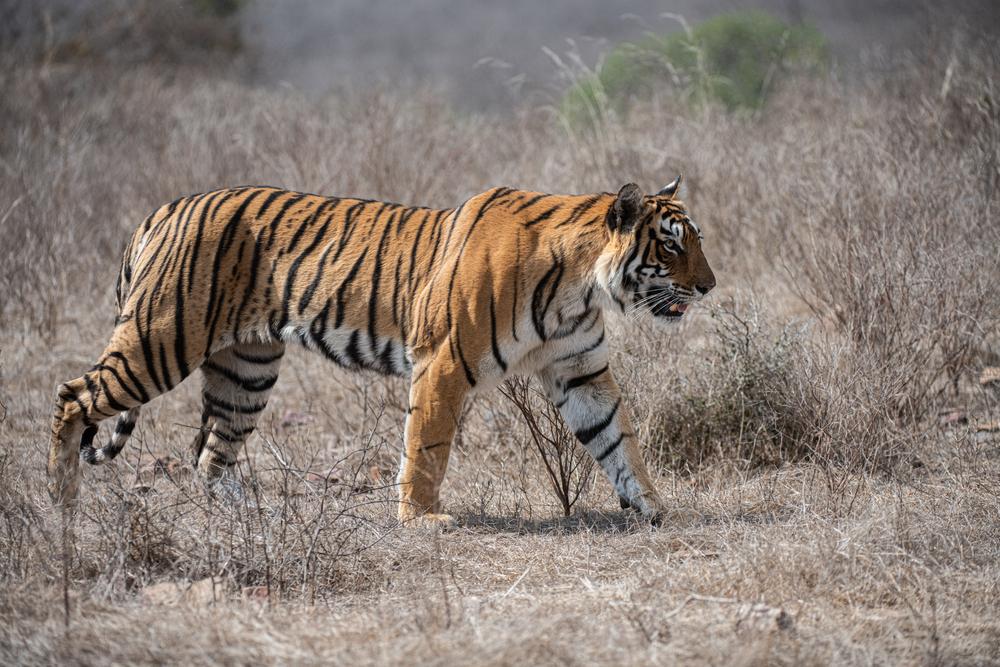 Противостояние тигра и питона попало на видео.Вокруг Света. Украина