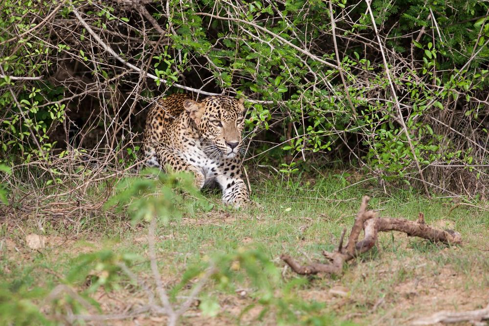 Удивительная гонка леопарда и гепарда попала на видео.Вокруг Света. Украина