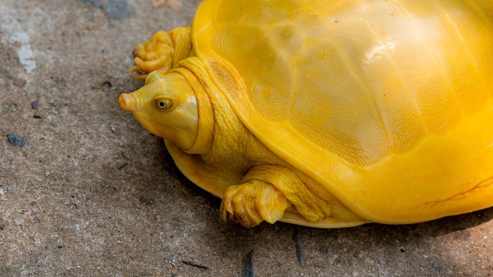 В Индии обнаружили редчайшую желтую черепаху