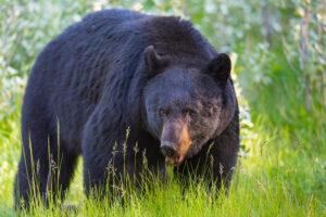 Американец чудом выжил после нападения медведя на кухне