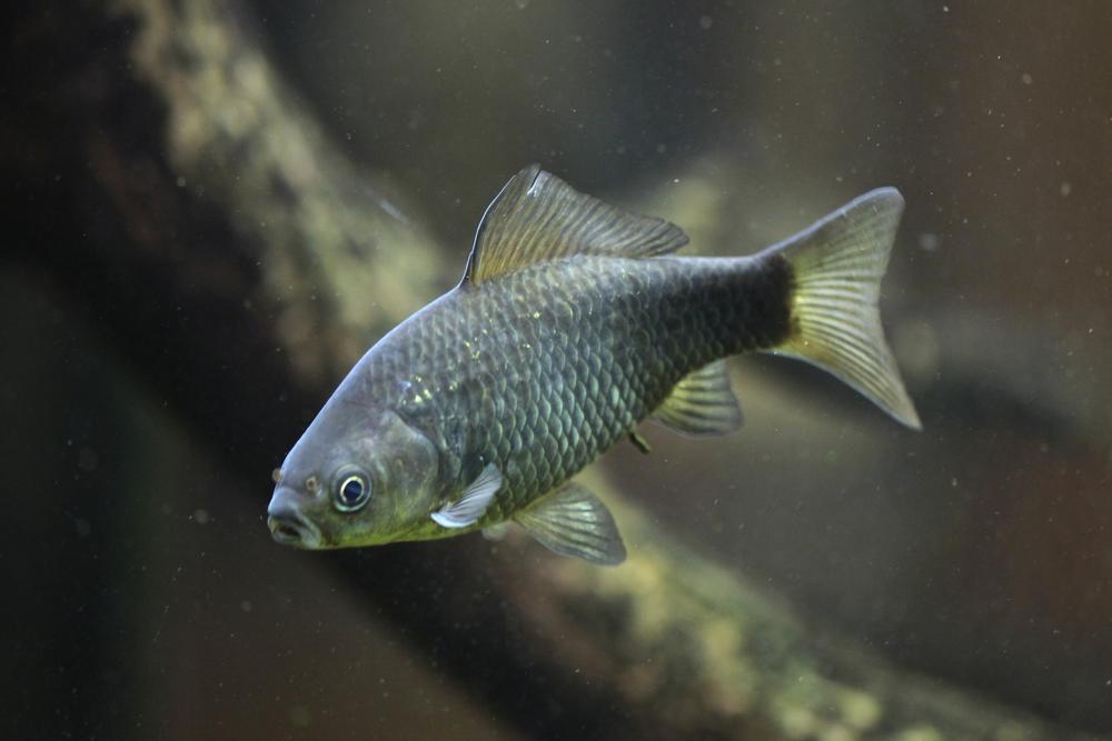 Как рыба преодолевает километры суши между водоемами?