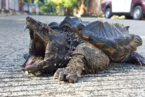 Грифовая черепаха приманивает добычу собственным языком: видео