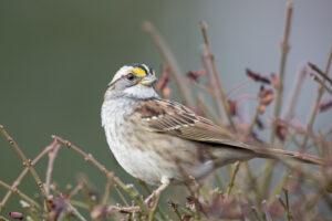 Уникальный феномен: песню канадского воробья подхватили птицы во всей стране