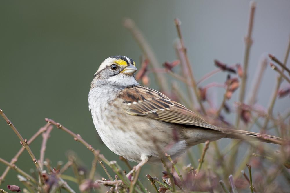 Уникальный феномен: песню канадского воробья подхватили птицы во всей стране.Вокруг Света. Украина