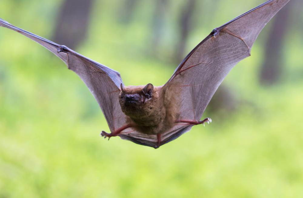Летучие мыши крайне устойчивы к воздействию вирусов