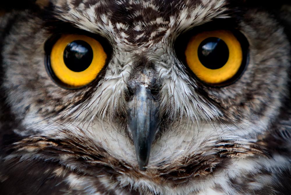 40 тысяч лет назад на Земле обитали гигантские совы – ученые