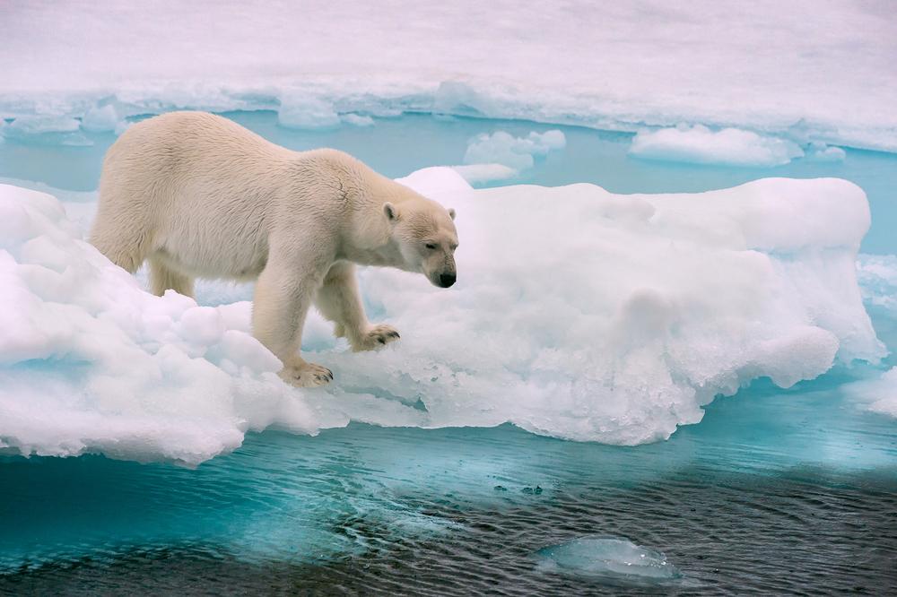 Белые медведи, вероятно, исчезнут к концу столетия