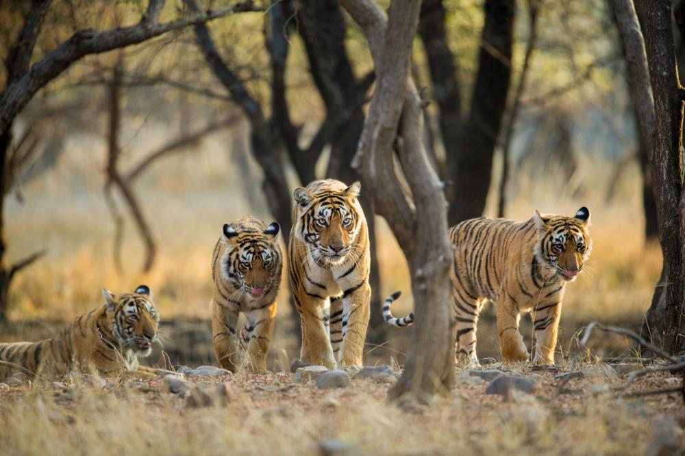 На планете начала расти популяция диких тигров