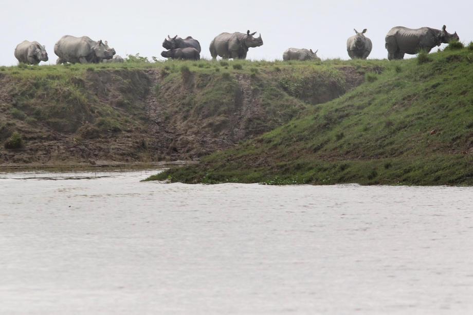 В Индии в результате наводнения погибли редкие носороги