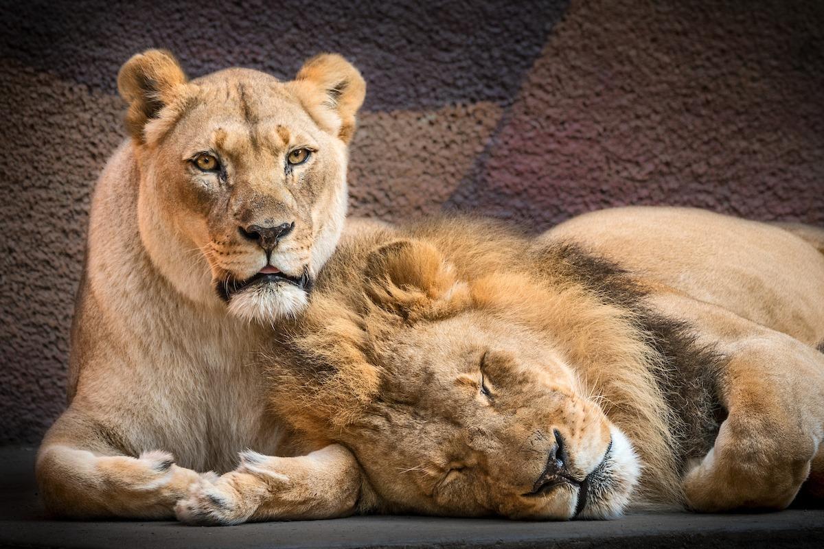 В зоопарке Лос-Анджелеса усыпили пожилую пару львов.Вокруг Света. Украина