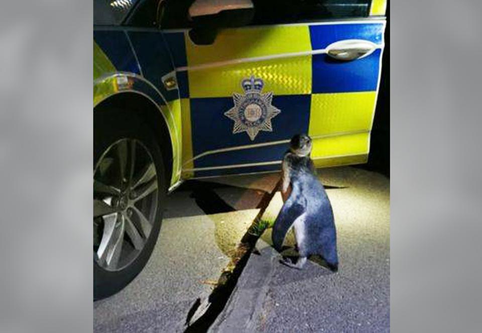 В Англии полиция задержала беглого пингвина, бродившего по деревне.Вокруг Света. Украина