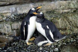 Однополая пара пингвинов-самок стала родителями