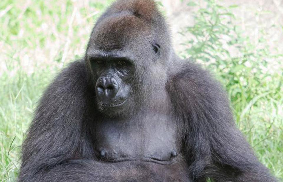 В зоопарке Нового Орлеана создали «пакет малыша» для гориллы