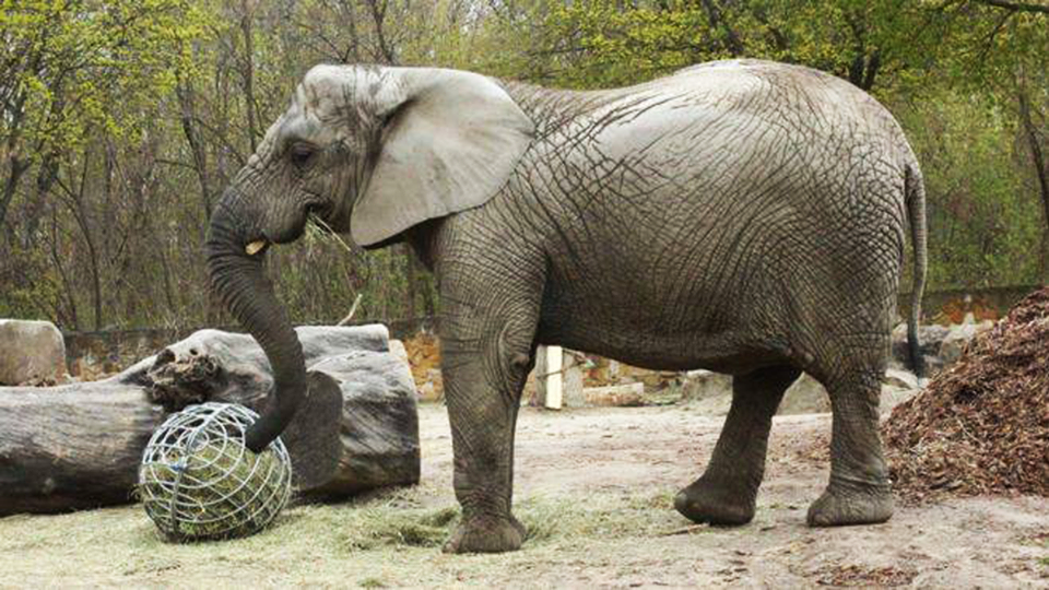В Варшавском зоопарке слониху лечат от стресса маслом каннабиса