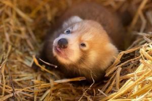 В английском зоопарке родился детеныш редкой красной панды